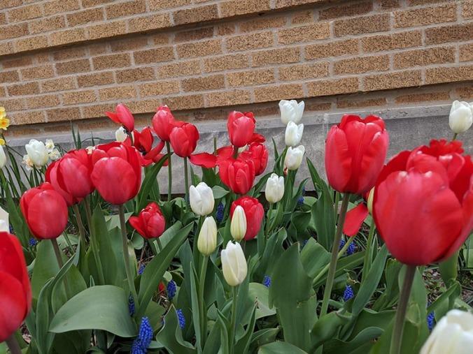 SRB tulips